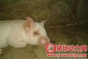 猪脓肿不是肿瘤!怎么处理是关键