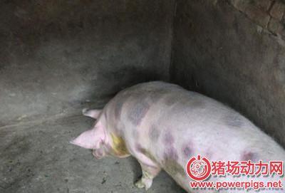 秋季:猪丹毒来了,养殖户要做好防治