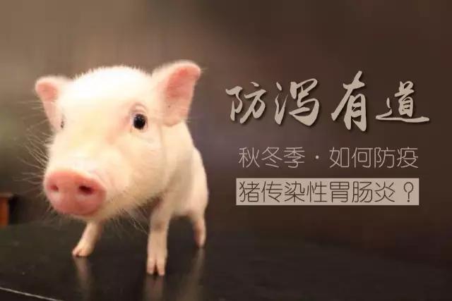 秋冬季:防治猪传染性胃肠炎