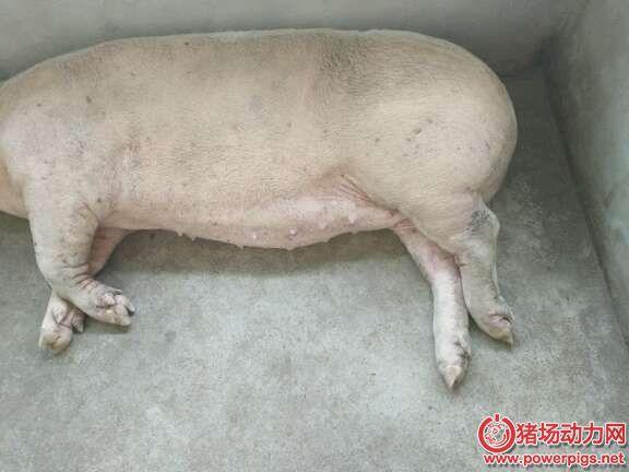 猪脚瘸,就是链球菌感染?