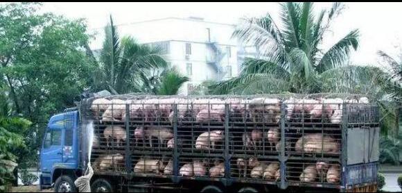 冬季贩猪,我们该注意什么?