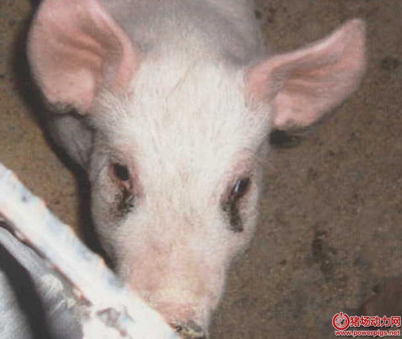 猪眼角总是泪斑泪痕,原来是这么一回事