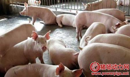 猪低温症,原来是这么回事