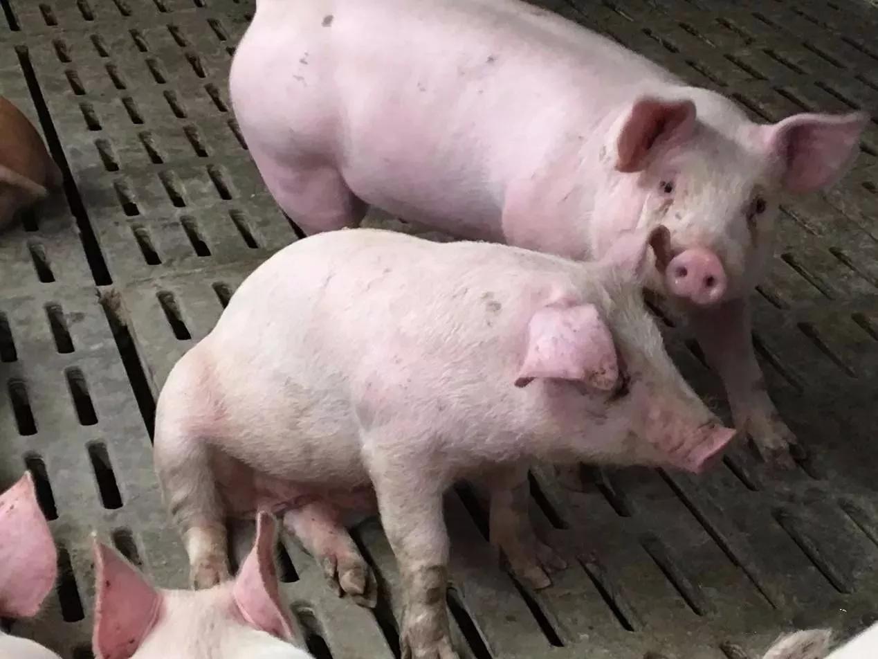 育肥猪呼吸道疾病反复发作、药物治疗效果差怎么办?试试这个方法