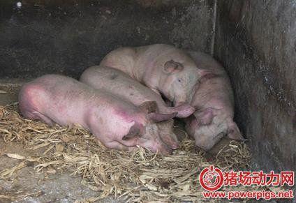 一个老兽医,分享猪流行性感冒的治疗经验!