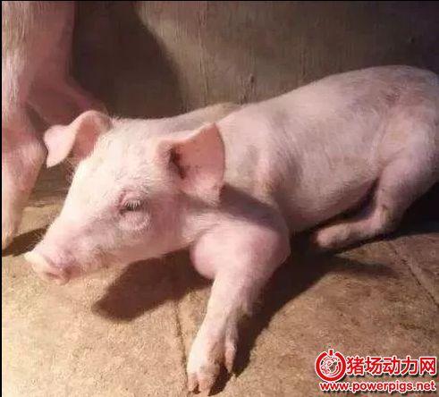 仔猪关节肿大,看这位经验养猪人的绝招