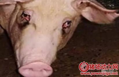 母猪为啥出现眼屎、泪斑?