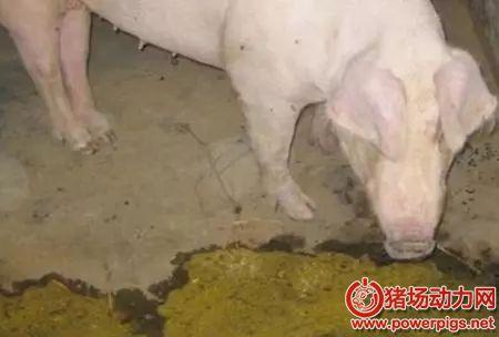 常引发猪呕吐的六种猪病,不这样治疗可能整窝死光!