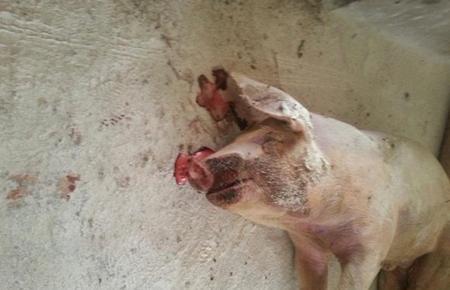 猪死后鼻孔流出血色泡沫是怎么回事