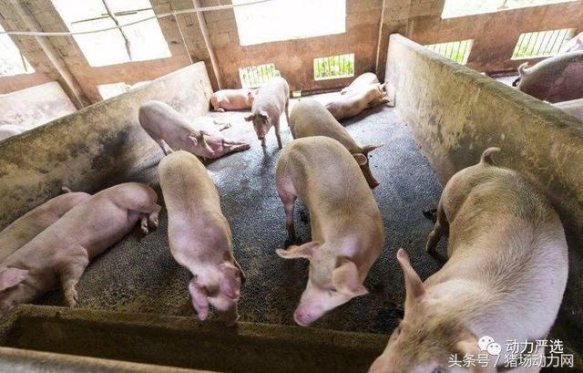 """""""八看五听八查"""":快速分析猪群问题的21种方法,你熟悉几个?"""