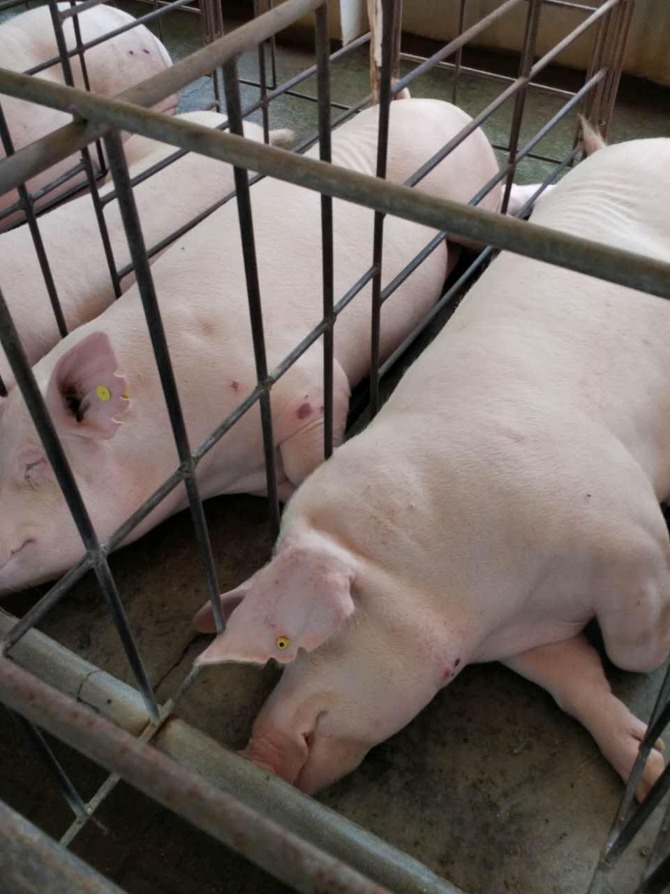 种猪场伪狂犬临床净化方案