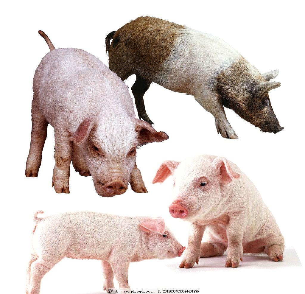 秋季猪病增多,如何通过外在特征及早判断猪有没有生病?
