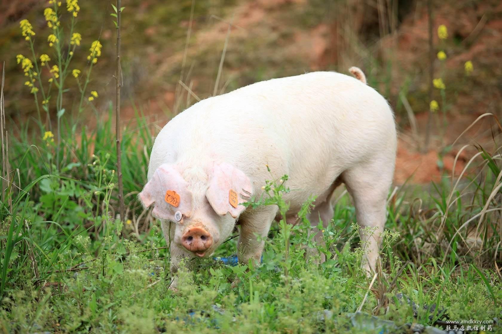 """猪病诊断""""10大""""误区,你知道吗?"""