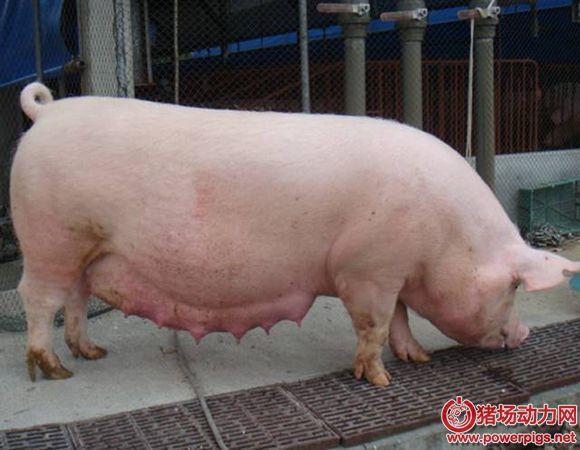 导致母猪异常淘汰的常见原因及防控措施!