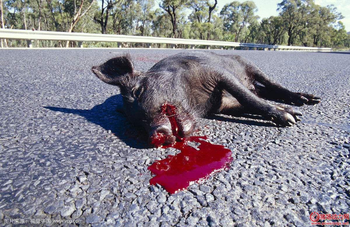 易引起猪猝死的8大原因