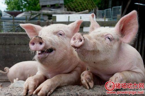猪咳嗽、喘气、急性死亡?你应该这么做?
