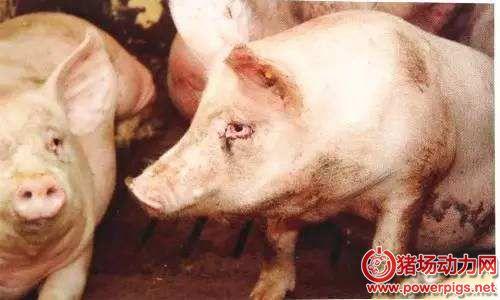 猪的呼吸道疾病总结
