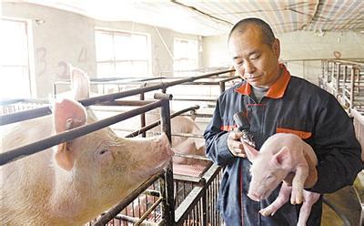 在夏季,猪注射疫苗更加应该注意这些问题