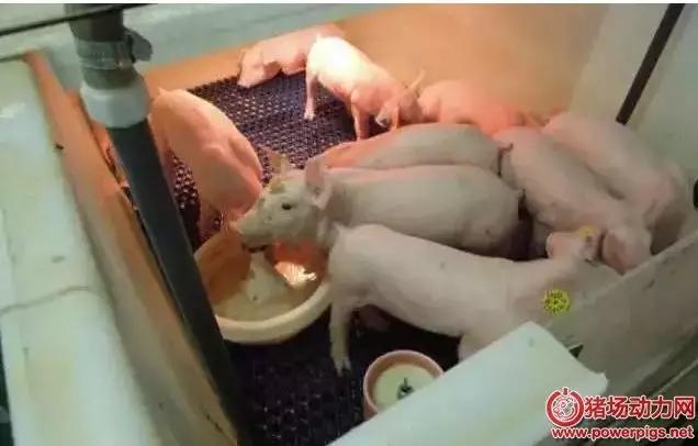 秋季预防流行性腹泻,春季仔猪好养活。