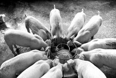 猪服药后有哪些忌口饲料