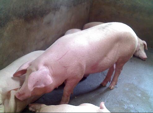 导致生猪中毒的四大病原