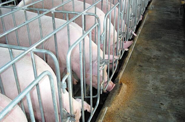 限位栏饲养对母猪的损害