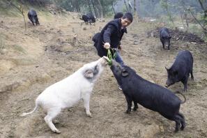 有机猪饲料的具体要求