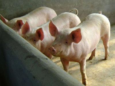秋季猪场如何做好保健工作
