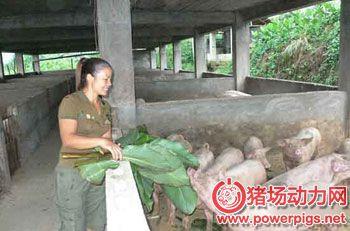 选择猪饲料注意事项