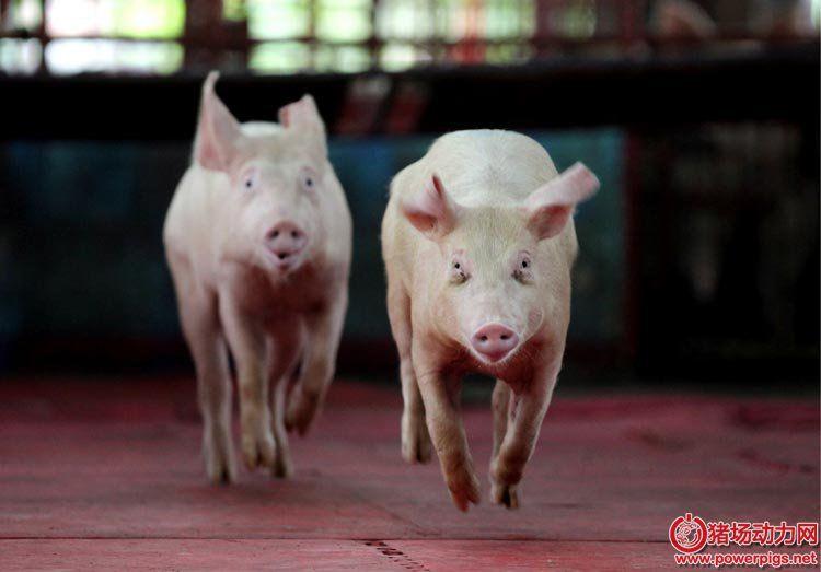 酸化剂与低聚木糖合用提高断奶仔猪生长