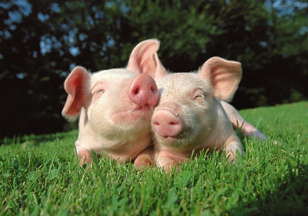 先进规模养猪场中的饲料防霉技术