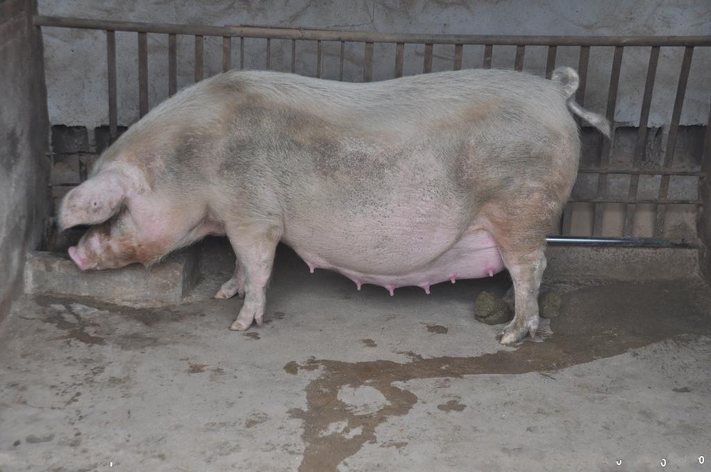 母猪便秘不利影响