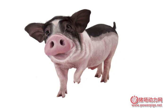 简单化养猪,有这6招