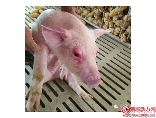 让爱你的猪不流泪歌谱