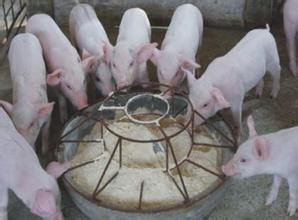 一头猪要浪费10%-15%的饲料