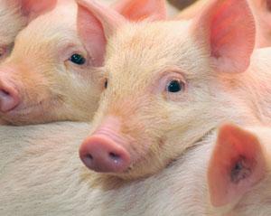 蛋白质在猪体中的作用