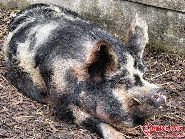 从猪的症状看猪的营养需求