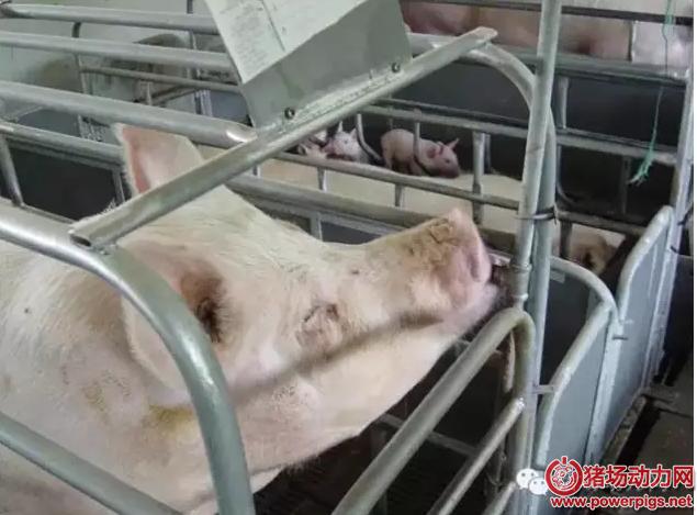 不同温度,不同阶段……猪的日粮饲喂应该注意啥