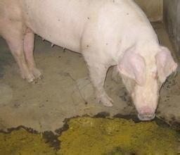 猪胃溃疡的症状、致病原因以及治疗方案!