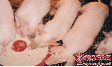 教槽料是猪一生的营养基础