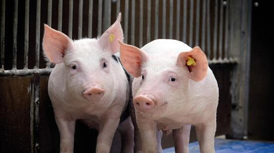 经验:避免乳猪拉稀的个人经验,不想仔猪拉稀死的进来看看
