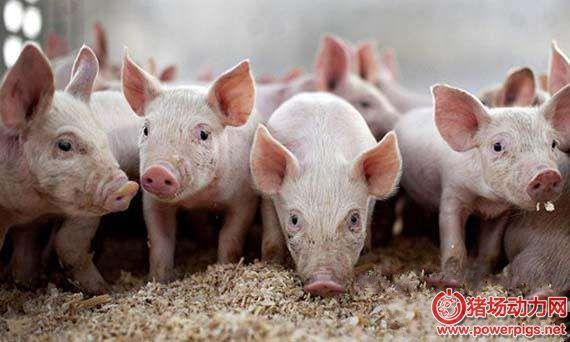 谈养猪换料