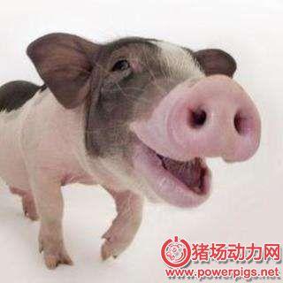 养猪就是养温度,养猪究竟需几度?