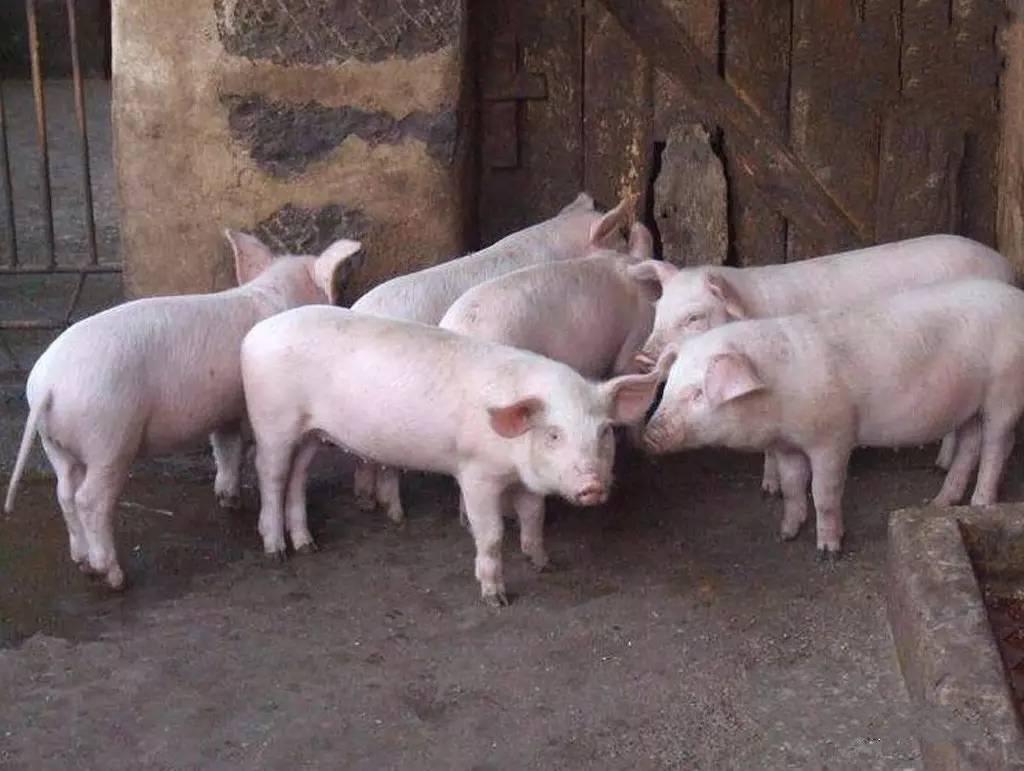"""猪饲料""""四个伪常识"""",你中了几个?"""