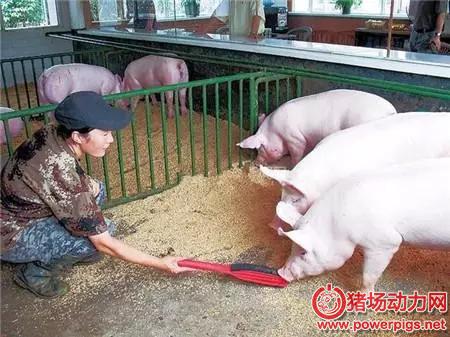 正确选择猪饲料,保证猪身体健康