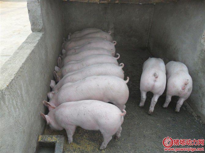 你的猪,真的如你所想吃的很营养吗?