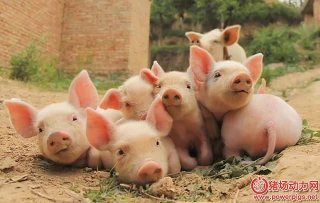 仔猪生长慢,原来是缺乏维生素A?