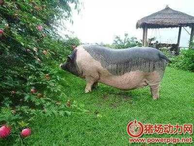 经常见到的三种菜可以使猪长得又快又好!