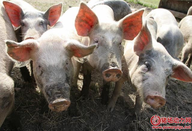 猪不愿吃食,喜欢喝脏水?