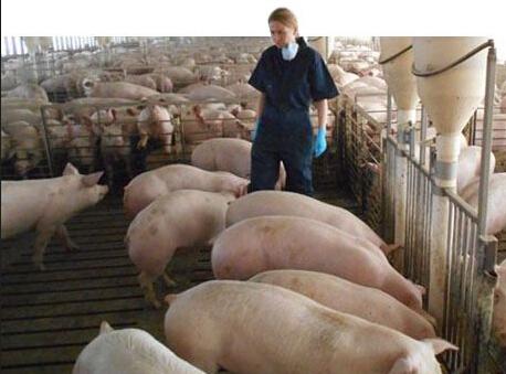 猪场饲养管理关键在于人